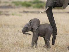 Photographic Print: African Elephant (Loxodonta Africana) Mother and Less Than 3 Weeks Old Calf, Masai Mara, Kenya by Suzi Eszterhas/Minden Pictures :