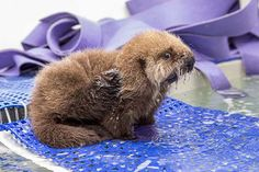 Orphaned Sea Otter Pup 681's First Night with Her Caretaker Humans at Shedd Aquarium 3