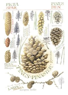 Assorted Pinecones · Marjolein Bastin painted this lovely 2010 watercolour in the Netherlands. Illustration Botanique, Garden Illustration, Botanical Illustration, Botanical Drawings, Botanical Prints, Marjolein Bastin, Nature Sketch, Nature Artists, Nature Journal