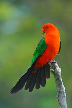 Male King Parrot by Ralph de Zilva What vibrant color! Most Beautiful Birds, Pretty Birds, Rare Birds, Exotic Birds, Tropical Birds, Colorful Birds, Beautiful Creatures, Animals Beautiful, Australian Parrots