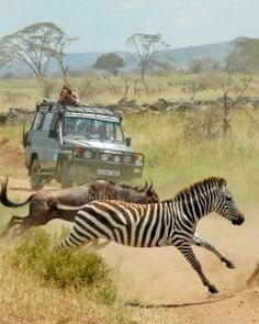Zebras crossing! Get ready to see awesome creatures on your South African Safari.