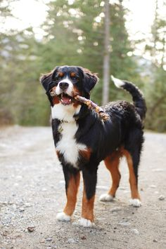 Dogs — magnificent-woofs: by sk Ki Bernese Dog, Pet Shop Online, Getting A Puppy, Bernese Mountain, Mountain Dogs, Great Pyrenees, Family Dogs, Beautiful Dogs, Cute Animals