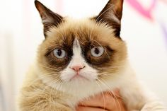 She decided to realize her true calling: Stardom. | The Meteoric Rise Of Grumpy Cat