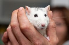 Rats are intelligent and, if well cared, for make great pets. This is a guide about caring for a pet rat.