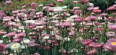 Our famous everlasting mix. Dappled shades of pink and white are so easy to raise. Naturalises and perfect for drying as ever-lasting flowers. Covers 5m2. | The Diggers Club