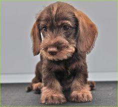 Dachshund – Friendly and Curious Dachshund Funny, Dachshund Puppies, Dachshund Love, Cute Puppies, Cute Dogs, Dachshunds, Animal Gato, Mundo Animal, Animals And Pets