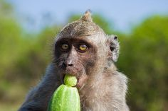 Closeup Monkey Eating Cucumber by Nila Newsom