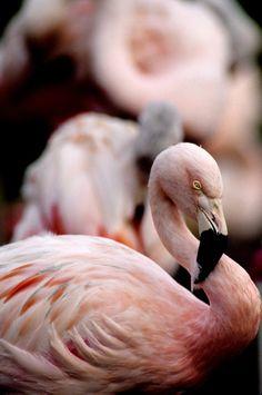"""Gyclli: """"Pink Flamingo *** przez Art-Photo"""""""