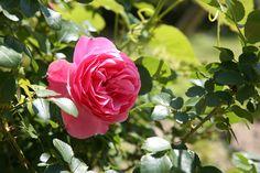 Πώς καταπολεμούμε την μαύρη κηλίδωση στις τριανταφυλλιές μας; Spring Wedding Flowers, Seasonal Flowers, Organic Gardening, Seasons, Site Internet, Plants, Rose Vines, Spring Garden, Gardens