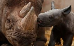 Ema Elsa, a nine-year-old Black Rhino, is nuzzled by her newborn calf in their enclosure at Chester Zoo in Chester, northern England October 5, 2012.  The female calf which is less than 48 hours old will join an international breeding programme for the critically endangered species. (Reuters) #animals #cute