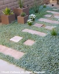 Silver pony foot-amazing as ground cover, in-between garden path stones, or trailing out of pots or off a rock wall. What a win win plant.