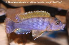hongi red - Căutare Google Fish, Pets, Google, Animals, Animals And Pets, Animales, Animaux, Animal, Animais
