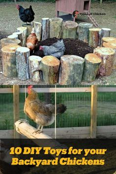10 DIY Toys for your Backyard Chickens Chickens love to get busy. They enjoy running around, scratching and pecking at things all the time. Chicken Roost, Chicken Garden, Chicken Life, Backyard Chicken Coops, Chicken Quotes, Types Of Chickens, Raising Backyard Chickens, Keeping Chickens, Pet Chickens