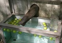 Elephants bobbing for apples!! See if Guinea fowl would bob for worms