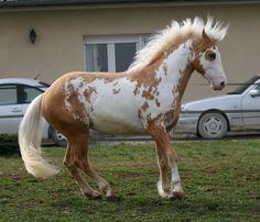 Paint Horse stallion Samy