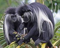African Colobus Monkey