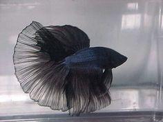 https://flic.kr/p/5X1wTL | Betta Macho black | El betta  (Betta splendens) es una de las especies más populares entre los peces de agua dulce. Es un miembro de la familia gourami (familia Osphronemidae) del orden de los Perciformes, aunque fue clasificado entre los Anabantidae. Es nativo de la cuenca Mekong en el sureste de Asia.  La coloración natural del B. splendens es un verde y marrón embotado, y las aletas de especímenes salvajes son relativamente cortas. Sin embargo, las castas en…