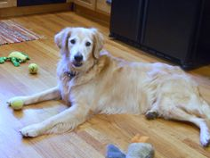 This is Jake - 9 yrs. He gets along with other dogs & kids, is potty trained, has good house manners and walks well on leash. Jake has good energy and loves to play. He is looking for a forever home and is at As Good As Gold Golden Retriever Rescue, Northern Illinois