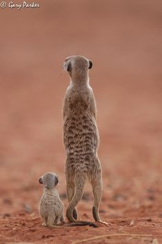 Meerkat lessons, by guide Gary Parker. Photographed at Tswalu, Kalahari, South Africa. (tswalu.com/ untamedodyssey.com)