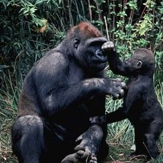 Researchers in Cambridge have deciphered the genetic code of the gorilla - the last of the Great Ape genuses to be sequenced.
