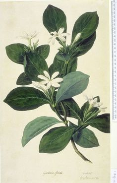 Gardenia taitensis, also known as Tahitian Gardenia or Tiare Flower, is a species within the Rubiaceae family of flowering plants. The anglicized name Tahitian Gardenia is something of a misnomer s… Illustration Botanique, Plant Illustration, Vintage Botanical Prints, Botanical Drawings, Vintage Botanical Illustration, Flower Drawings, Botanical Flowers, Botanical Art, Art Journal Pages