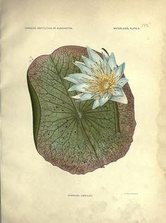 vintage botanical print | The Waterlilies. 1905.