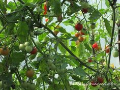 Tomatoes in my greenhouse 2014