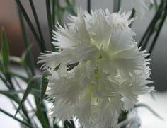 Dianthus plumarius 'Mrs. Sinkins' - Gefüllte Feder-Nelke