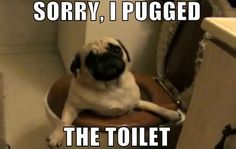 SORRY, I PUGGED THE TOILET - Funny pictures and memes of dogs doing and implying things. If you thought you couldn't possible love dogs anymore, this might prove you wrong. Funny Dog Memes, Funny Animal Memes, Cute Funny Animals, Funny Animal Pictures, Funny Cute, Funny Dogs, Pug Jokes, Pug Humor, Funny Animals