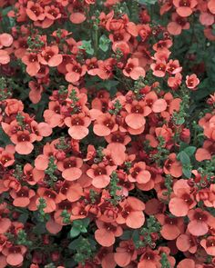 Flying+Colors®+Coral+-+Twinspur+-+Diascia+hybrid