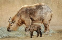 The Los Angeles Zoo and Botanical Gardens has announced the birth of a healthy Takin!