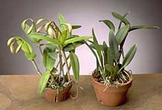 Cattleya care for beginners. This is a great resource for orchid care.  copyright Greg Allikas - orchidworks.com