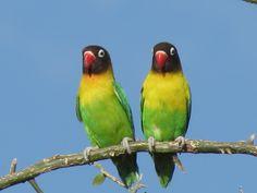 Love bird at Tarangire National Park, Tanzania