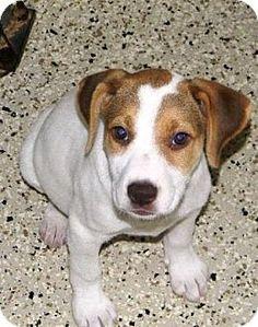 Alpharetta, GA - Bulldog Mix. Meet Pixie, a puppy for adoption. http://www.adoptapet.com/pet/14069529-alpharetta-georgia-bulldog-mix