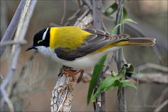 Golden-backed Black-chinned Honeyeater: Central AU