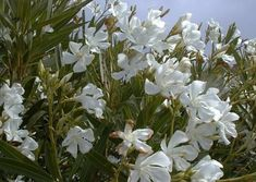oleander, the most deadly plant in the world, one leaf can kill an adult, it goes to work on the nervous system, cardiovascular and digestive system simultaneously