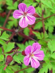 Herb-Robert (Geranium robertianum) Oxygenates the cells of the body and makes other herb/remedies more effective.