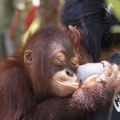 Sooo lieb haben wir bei BOS alle Frauen, die täglich im Einsatz für die rotbraunen Affen sind. Am heutigen Internationalen Frauentag ein dickes DANKE dafür, dass es Euch gibt! #orangutan #internationalerfrauentag #worldwomensday Farm Animals, Animals And Pets, Cute Animals, Beautiful Creatures, Animals Beautiful, Ape Monkey, Mountain Gorilla, Pet Birds, Animal Pictures