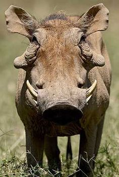 "Warthog. Visit Facebook: ""Animals are Awesome"". Animals, Wildlife, Pictures, Photography, Beautiful, Cute."