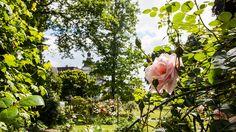 Rosa Rose | Rosen . Garten . roses . garden | Rheinland . Eifel . Koblenz . Gut Nettehammer |