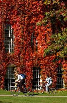 in autumn the Boston Ivy turns Green Living Walls/Vertical Garden