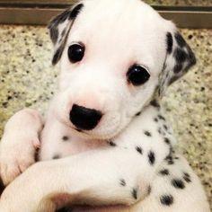 baby dalmatians - Google Search