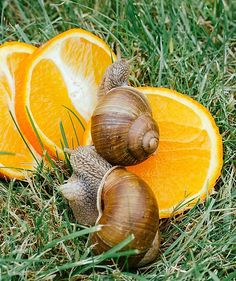 How to keep pet snails Animals Of The World, Animals For Kids, Cute Animals, What Do Snails Eat, Low Maintenance Pets, Pet Snails, Cheap Pets, Indoor Pets, All Fruits