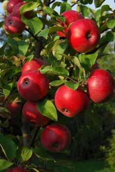 Some pretty red apples!