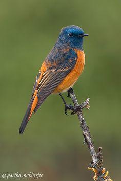 Blue-fronted Redstart, Oriental regions