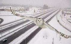 Traffic camera image of Snowy Owl in flightabove a motorway in Montreal