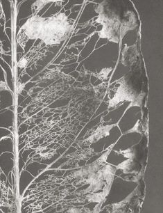 leaves veins | leaf vein