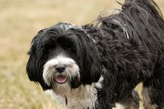 tibetan Terrier photo | Recent Photos The Commons Getty Collection Galleries World Map App ...
