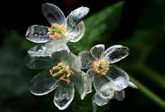 Diphylleia grayi, also known as the skeleton flower, has white petals that turn transparent with rain. When dry, they revert to white. Earth Magic.