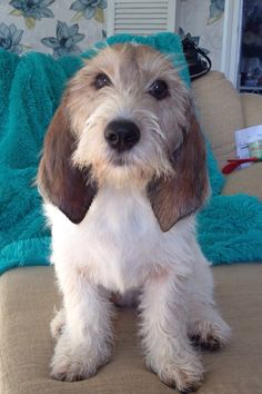 Grande Basset Griffon Vendeen - Looks like our GBGV Janssen❤️ Basset Hound Puppy, Dachshund Puppies, Dachshunds, Pet Dogs, Dogs And Puppies, Dog Cat, Petit Basset Griffon Vendeen, Griffon Dog, Animals And Pets